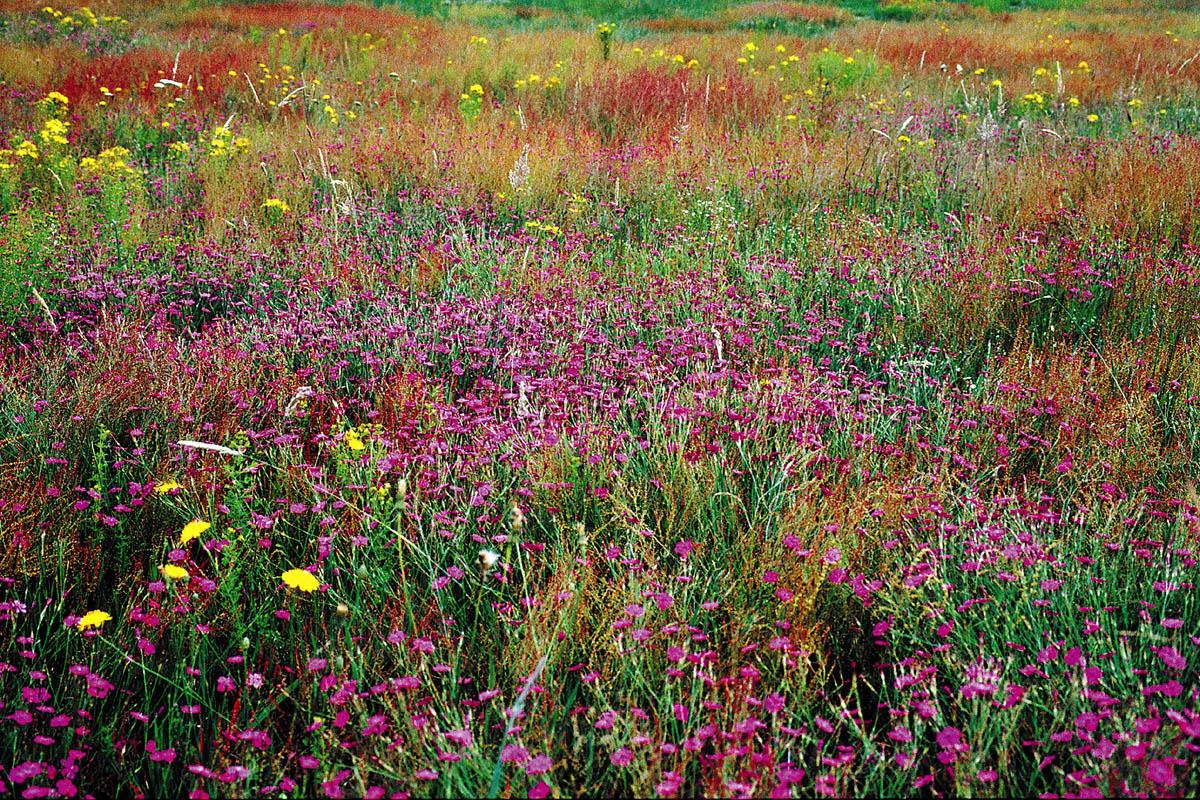 Blühende Kostbarkeiten auf extensiven Magerrasen, Feuchtheiden und Heidemooren