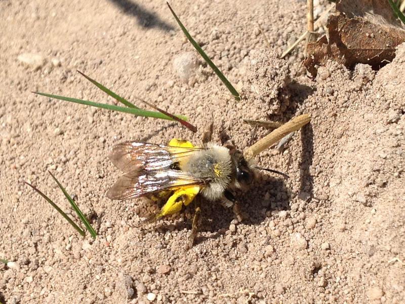 Wanderung zu Wildbienen und ihren Futterpflanzen
